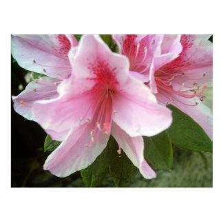 Rhododendron Flowers Postcard