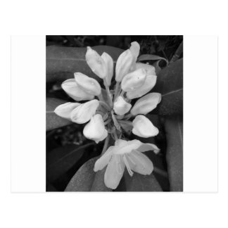 Rhododendron Mountain Laurel in Black and White Postcard