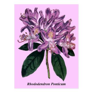 Rhododendron Ponticum Postcard
