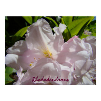 Rhododendrons art prints Pink Rhodies Floral Poster