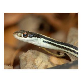 Ribbon Snake. Postcard