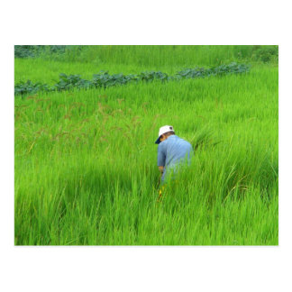 Rice harvest in Waegwan, Southkorea Postcard