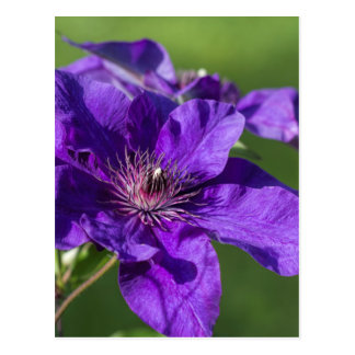 Rich Purple Clematis Blossom Macro Postcard