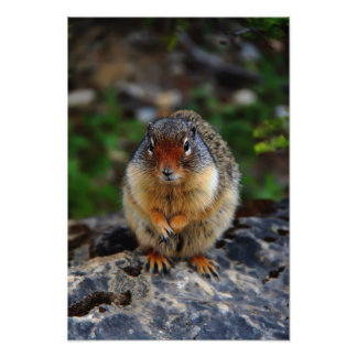 Richardson Ground Squirrel Photo