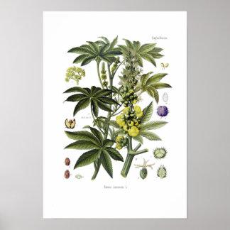 Ricinus communis Castor Oil Plant Poster