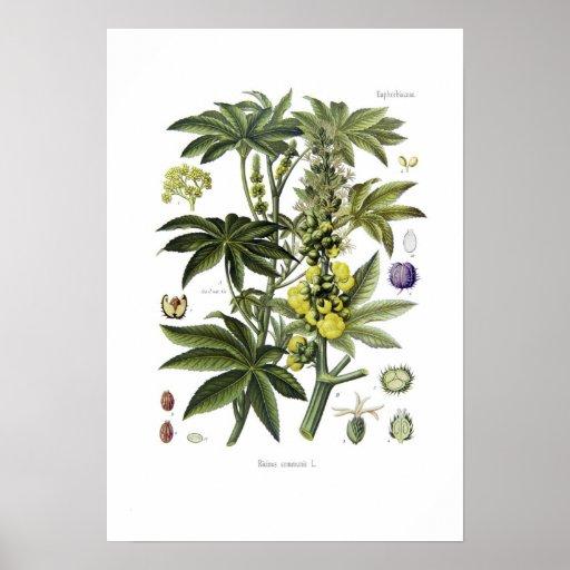 Ricinus communis (Castor Oil Plant) Poster