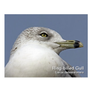 Ring-billed Gull Postcard