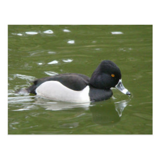 Ring-necked Duck Postcard
