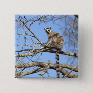 Ring-tailed Lemur (Lemur catta) warming in tree 2 Inch Square Button