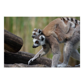 Ring-Tailed Lemur Mother And Baby Perfect Poster
