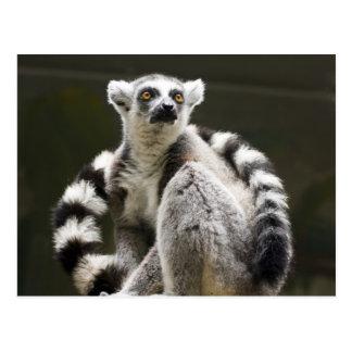 Ring-tailed Lemur Postcard