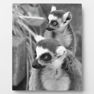 Ring-tailed lemur with baby black and white plaque