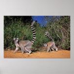Ring-Tailed Lemurs (Lemur Catta), Berenty Poster