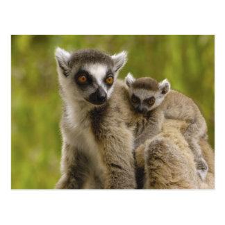 Ring-tailed lemurs (Lemur catta) Mother & baby. Postcard