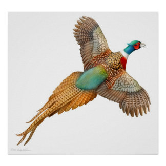 Ringneck Pheasant in Flight Print