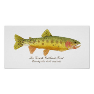 Rio Grande Cutthroat Trout Art Poster