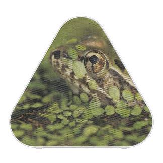 Rio Grande Leopard Frog, Rana berlandieri, Blueooth Speaker