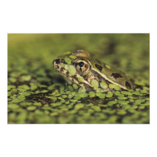 Rio Grande Leopard Frog, Rana berlandieri, Photo