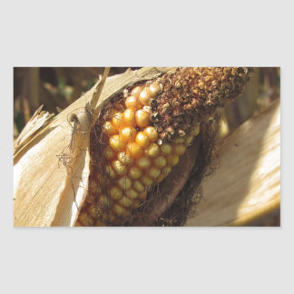 Ripe and ready to harvest ear of corn