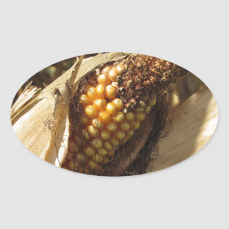 Ripe and ready to harvest ear of corn oval sticker