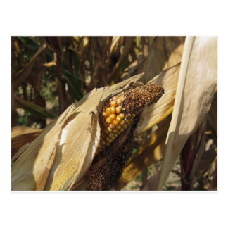 Ripe and ready to harvest ear of corn postcard
