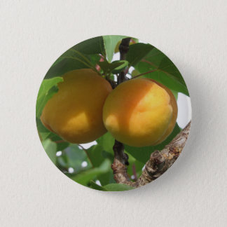 Ripe apricots hanging on the tree . Tuscany, Italy 2 Inch Round Button