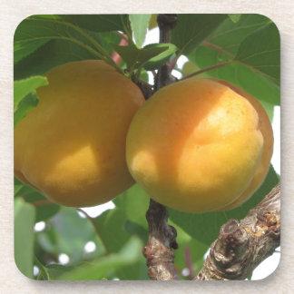 Ripe apricots hanging on the tree . Tuscany, Italy Beverage Coaster