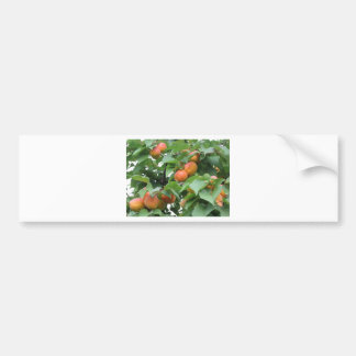Ripe apricots hanging on the tree . Tuscany, Italy Bumper Sticker