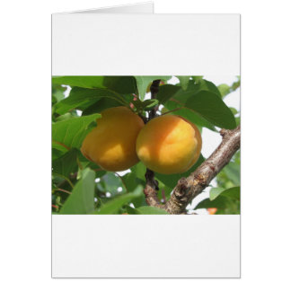 Ripe apricots hanging on the tree . Tuscany, Italy Card