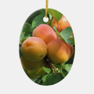 Ripe apricots hanging on the tree . Tuscany, Italy Ceramic Oval Ornament