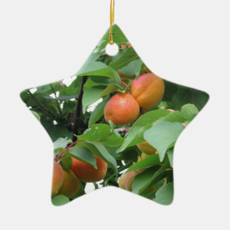 Ripe apricots hanging on the tree . Tuscany, Italy Ceramic Star Ornament