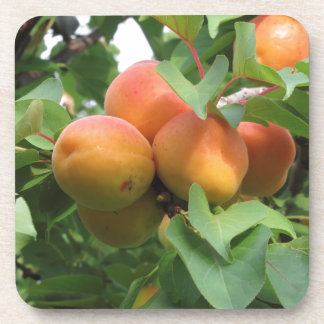Ripe apricots hanging on the tree . Tuscany, Italy Coaster