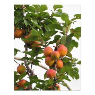 Ripe apricots hanging on the tree . Tuscany, Italy Custom Letterhead