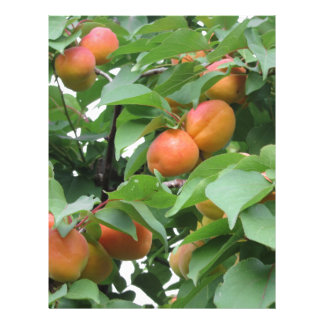 Ripe apricots hanging on the tree . Tuscany, Italy Customized Letterhead