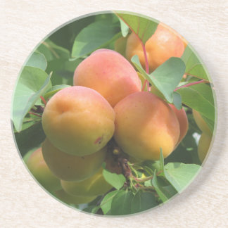 Ripe apricots hanging on the tree . Tuscany, Italy Drink Coaster