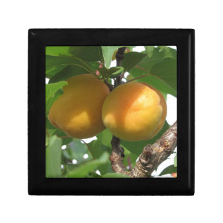 Ripe apricots hanging on the tree . Tuscany, Italy Gift Box