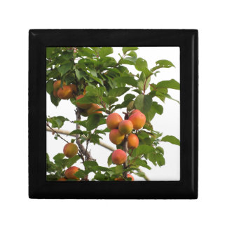 Ripe apricots hanging on the tree . Tuscany, Italy Gift Boxes