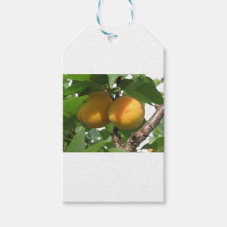 Ripe apricots hanging on the tree . Tuscany, Italy Gift Tags
