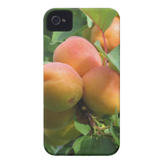 Ripe apricots hanging on the tree . Tuscany, Italy iPhone 4 Case-Mate Case