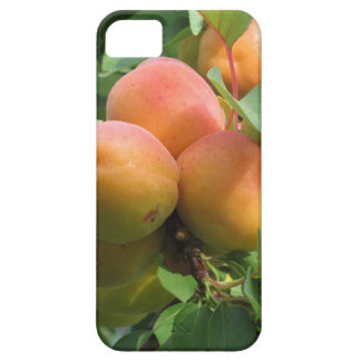 Ripe apricots hanging on the tree . Tuscany, Italy iPhone 5 Cover