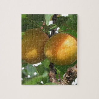 Ripe apricots hanging on the tree . Tuscany, Italy Jigsaw Puzzle