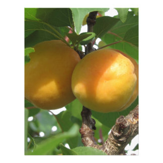 Ripe apricots hanging on the tree . Tuscany, Italy Letterhead