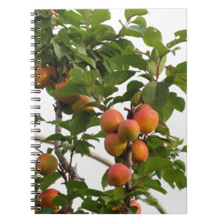 Ripe apricots hanging on the tree . Tuscany, Italy Notebook