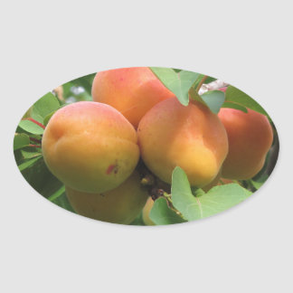 Ripe apricots hanging on the tree . Tuscany, Italy Oval Sticker