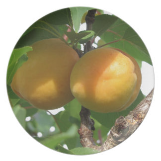 Ripe apricots hanging on the tree . Tuscany, Italy Plate