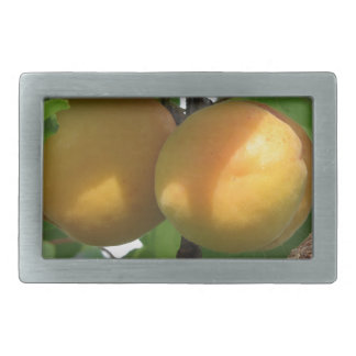 Ripe apricots hanging on the tree . Tuscany, Italy Rectangular Belt Buckle