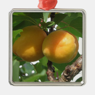 Ripe apricots hanging on the tree . Tuscany, Italy Silver-Colored Square Ornament