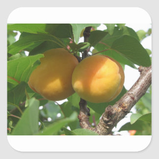 Ripe apricots hanging on the tree . Tuscany, Italy Square Sticker