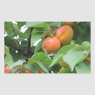 Ripe apricots hanging on the tree . Tuscany, Italy Sticker