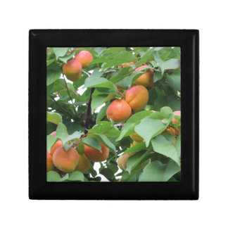 Ripe apricots hanging on the tree . Tuscany, Italy Trinket Boxes